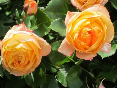 Rose20110525_05