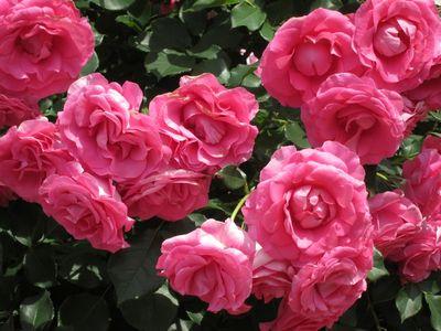 Rose20110525_02